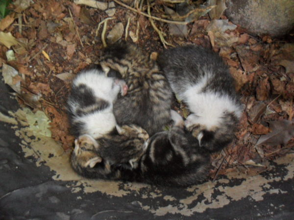 kollah litter clump holly tub3